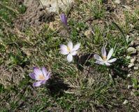 Fiori di Violet Crocus che fioriscono dalla terra sporca fotografie stock libere da diritti