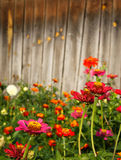 fiori di zinnia contro priorità bassa di legno Fotografia Stock Libera da Diritti