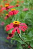 Fiori di zinnia, wildflowers, fiori rossi Immagine Stock