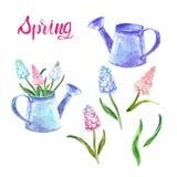 Fiori dipinti a mano della molla dell'acquerello messi con il rosa e l'annaffiatoio d'annata blu e del muscari isolati royalty illustrazione gratis
