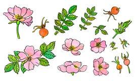 Fiori disegnati a mano della rosa canina con l'acquerello e l'inchiostro royalty illustrazione gratis