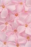 Fiori dolci rosa dell'oleandro, vista superiore Fotografia Stock Libera da Diritti