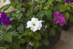 Fiori domestici petunia Illuminazione naturale abbia tonalit? Primo piano fotografia stock