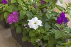 Fiori domestici petunia Illuminazione naturale abbia tonalit? Primo piano fotografie stock