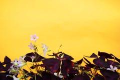 Fiori domestici sopra fondo giallo Immagine Stock