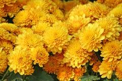 Fiori dorati che fioriscono, gruppo dei crisantemi immagine stock