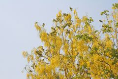 Fiori dorati dell'acquazzone fotografie stock