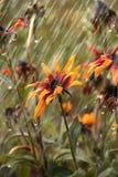 Fiori durante la pioggia di estate immagine stock