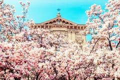 Fiori e chiesa rosa della magnolia in un parco urbano Milan Italy Immagine Stock