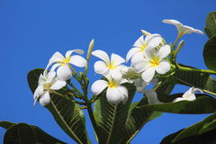 Fiori e cielo blu del frangipane Immagini Stock Libere da Diritti