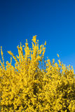 Fiori e cielo blu di Forsythia in primavera Fotografia Stock Libera da Diritti