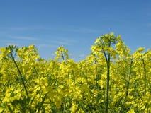 Fiori e cielo blu gialli fotografia stock libera da diritti