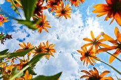 Fiori e cielo dell'echinacea Fotografia Stock Libera da Diritti