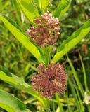 Fiori e foglie del milkweed comune Immagini Stock
