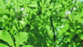 Fiori e foglie della castagna nel parco in primavera Rotazione della macchina fotografica video d archivio