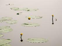 Fiori e foglie delle ninfee gialle sulla superficie del tipo di specchio del lago Fotografie Stock Libere da Diritti
