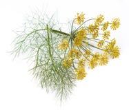 Fiori e foglie di finocchio fotografia stock