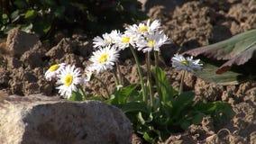 fiori e formica della camomilla stock footage