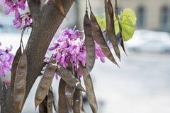 Fiori e frutti di glicine Fotografie Stock