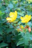 Fiori e gambi gialli con alcuni fiori Fotografie Stock Libere da Diritti