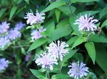 Fiori e gambi porpora con alcuni fiori Fotografia Stock Libera da Diritti