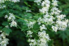 Fiori e gambi whispy bianchi con alcuni fiori Fotografia Stock Libera da Diritti