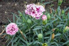 Fiori e germogli del Dianthus del garofano nel giardino fotografia stock libera da diritti