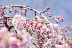 Fiori e germogli di ciliegia Fotografia Stock Libera da Diritti