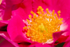 Fiori e germogli di Rosa in piena fioritura Fotografia Stock Libera da Diritti