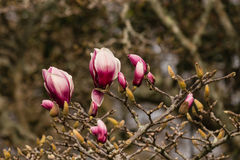 Fiori e germogli porpora della magnolia Fotografia Stock