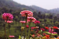 fiori e germogli rosa immagine stock libera da diritti