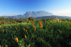 Fiori e montagna arancioni Fotografia Stock Libera da Diritti
