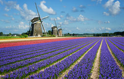 Fiori e mulini a vento in Olanda Immagine Stock Libera da Diritti