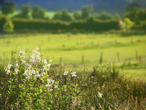 Fiori e pascolo bianchi del campo Fotografia Stock Libera da Diritti