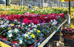 Fiori e piante d'appartamento nella serra nell'inverno fotografie stock