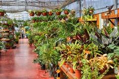 Fiori e piante d'appartamento nella serra nell'inverno fotografia stock