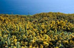Fiori e prato gialli della costa della costa giurassica Fotografia Stock