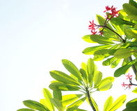 Fiori e priorità bassa tropicali del cielo Fotografia Stock