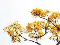 Fiori e rami di pavone arancio isolati Immagine Stock Libera da Diritti