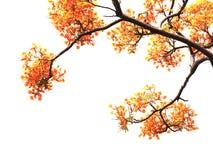 Fiori e rami di pavone arancio isolati Fotografie Stock Libere da Diritti