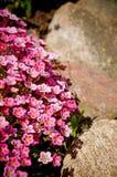 Fiori e rocce Fotografia Stock Libera da Diritti