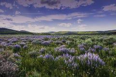 Fiori e Sage Below Wyoming Range blu, montagne di Wind River fotografia stock libera da diritti