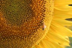 Fiori ed ape Fotografia Stock Libera da Diritti