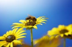 Fiori ed api Fotografia Stock