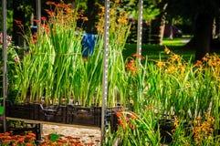 Fiori ed erbe di estate in vasi Fiori ed erbe di estate in vasi di plastica sugli scaffali Fotografia Stock Libera da Diritti