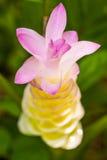 Fiori: Fiore di Krajiao, Siam Tulip Fotografia Stock