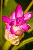Fiori: Fiore di Krajiao, Siam Tulip Immagini Stock Libere da Diritti