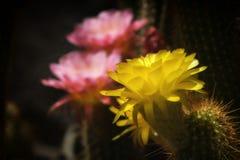 Fiori/fioriture del cactus Fotografia Stock