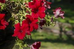 Fiori a forma di cono brillantemente rossi della petunia di diffusione Fotografia Stock