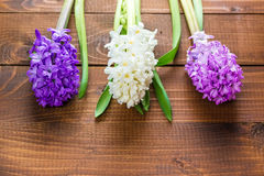 Fiori freschi del giacinto Fotografia Stock